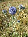 Echinops ritro subsp. ruthenicus sl7.jpg