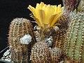 Echinopsis densispina1MW.jpg
