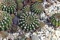 Echinopsis hammerschmidii 0zz.jpg