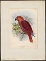 Eclectus cornelia - 1833-1860 - Print - Iconographia Zoologica - Special Collections University of Amsterdam - UBA01 IZ18500249.tif