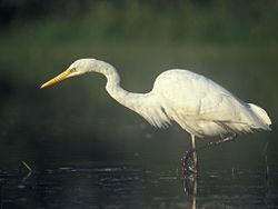 Egretta alba 1 (Lukasz Lukasik).jpg