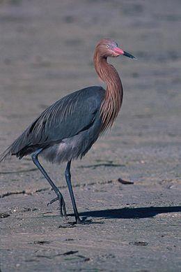 Egretta rufescens1