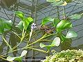 Eichhornia azurea2.jpg
