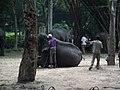 Elephant from Bannerghatta National Park 8690.JPG