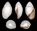 Ellobium aurismidae 01.JPG