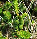 Empetrum nigrum (Crowberry) - unripe berries - Flickr - S. Rae.jpg
