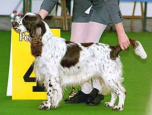 Conformation show - Handlers set up their dogs for judging so that their stance is perfect when the judge views them; this is known as hand stacking.