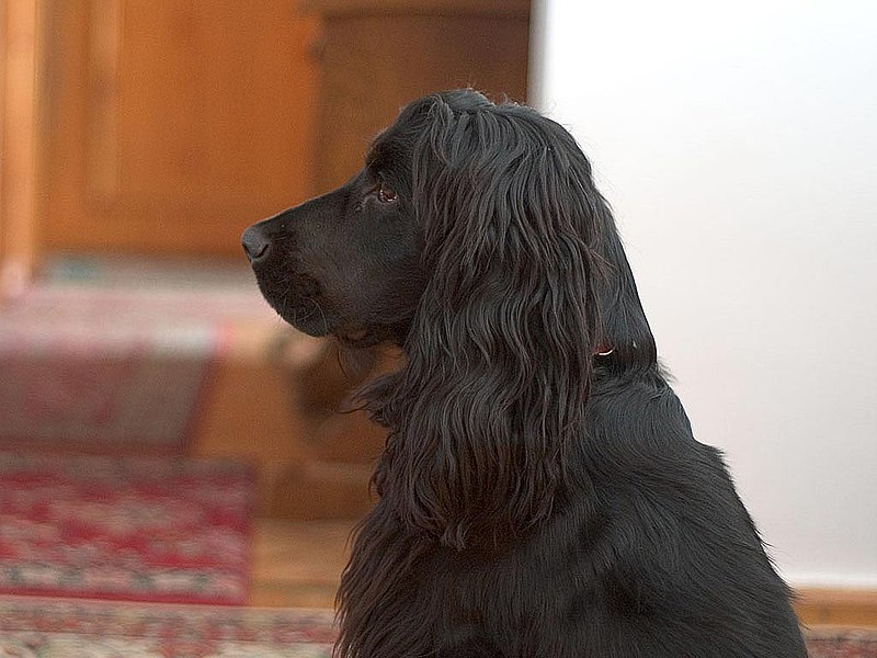 Beautiful Black English Cocker Spaniel Dog