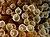 Entacmaea quadricolor (Bubble tip anemone).jpg