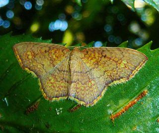 <i>Eois</i> Genus of moths