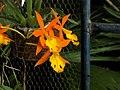 Epidendrum orange blaze (híbrido) (14128756530).jpg