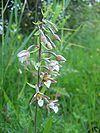Epipactis palustris habitus.jpeg