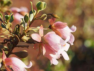 <i>Eremophila reticulata</i> species of plant