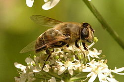 Eristalis.interrupta.female.jpg