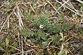 Erodium cicutarium sentier-decouverte-fort-mahon-plage 80 29042007 2.jpg