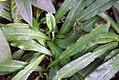 Eryngium foetidum 0zz.jpg