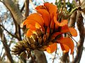 Erythrina caffra, bloeiwyse, d, Pretoria.jpg