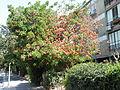 Erythrina corallodendrum ap 002.JPG