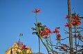 Erythrina speciosa - Primavera (15334312615).jpg