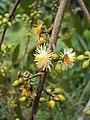 Eucalyptus camaldulensis 20.JPG