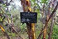 Eucalyptus conferruminata - UC Santa Cruz Arboretum - DSC07378.JPG