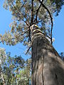 Eucalyptus sp-large tree trunk and canopy-Olinda-Maui (22367594238).jpg