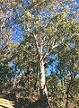 Eucalyptus viminalis 01.jpg