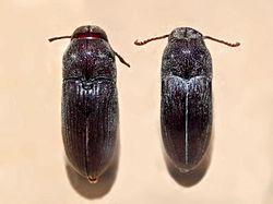 Eucnemidae - Euryostus reichei.JPG