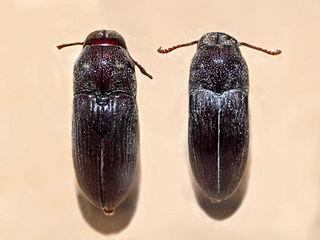 Eucnemidae Family of beetles