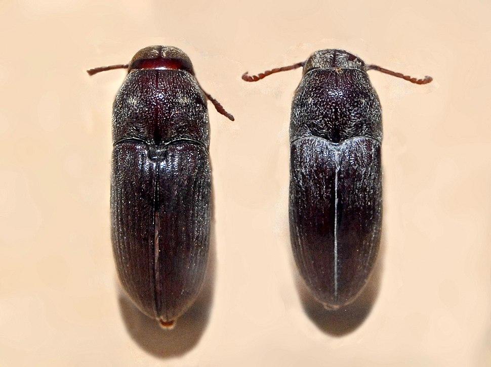 Eucnemidae - Euryostus reichei