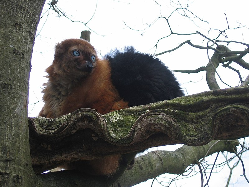 Fichier:Eulemur macao flavifrons.jpg