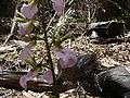 Eulophia guineensis 0004.jpg