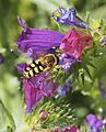Eupeodes sp. 20140420 a 01.jpg