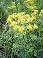 Euphorbia cyparissias bloemhoofd.jpg