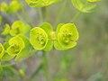 Euphorbia esula flowers-5-10-05.jpg