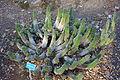 Euphorbia horrida - San Luis Obispo Botanical Garden - DSC05945.JPG