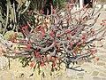 Euphorbia milii (Monaco).jpg