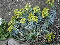 Euphorbia myrsinites RHu 01.JPG