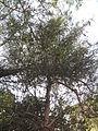 Euphorbia tirucalli (YS) (3).jpg