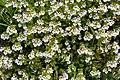 Euphrasia rostkoviana Auernig 20160811.jpg