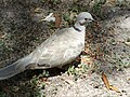Eurasian collared dove 2018 006.jpg