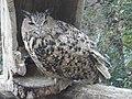 Eurasian eagle-owl 01.jpg