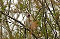 European Goldfinch (Carduelis carduelis) (25895313783).jpg