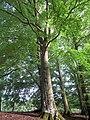European beech (Fagus sylvatica) in Humlamaden 1516.jpg