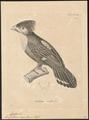 Eurylaimus sumatranus - 1700-1880 - Print - Iconographia Zoologica - Special Collections University of Amsterdam - UBA01 IZ16700291.tif