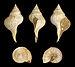 Euthriofusus burdigalensis forma typica 01.JPG