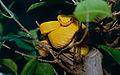 """Eyelash Viper (Bothriechis schlegelii) """" oropel """" phase """" (captive specimen) (14852918226).jpg"""
