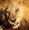 Eyes of a lion.jpg