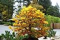 Fagus sylvatica - Portland Japanese Garden - Portland, Oregon - DSC08155.jpg