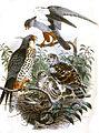 Falco amurensis 1868.jpg